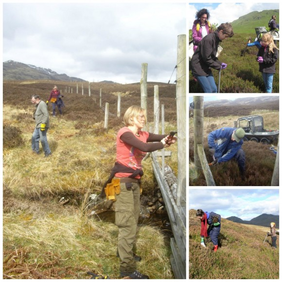 Staff and volunteers planting within our high altitude montane willow scrub enclosure, and maintaining fences on the property.