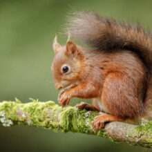 Red squirrel at Balmacara Scotland